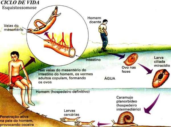 Esquistossomose ciclo e1340154272535 Esquistossomose   Doença, Ciclo e Contaminação, Vacina contra Barriga dágua