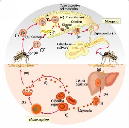 Malaria Resumo da Doenca 1 e1343128944822 Malária   Ciclo de Contaminação, Profilaxia, Sintomas e Tratamento
