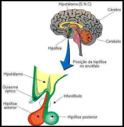 sistema endocrino hipofise 1 Glândula Hipófise   Hormônios e suas Funções, Doenças Relacionadas