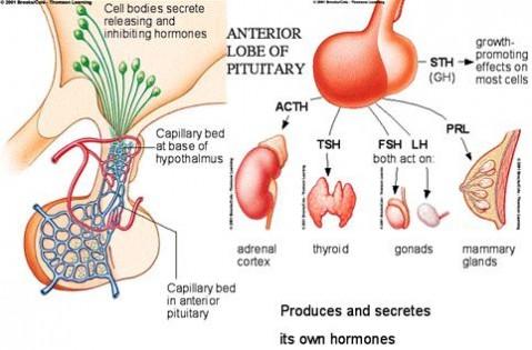 sistema endocrino hipofise 2 e1342802599256 Glândula Hipófise   Hormônios e suas Funções, Doenças Relacionadas