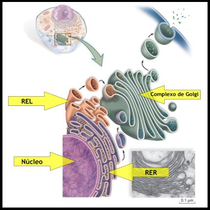 O Endereçamento de Proteínas esta intimamente ligado ao processo de Sinalização Celular