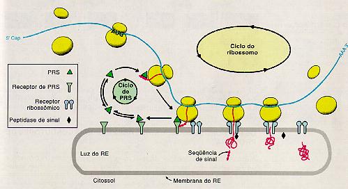 Ribossomos associados ao Retículo Endoplasmatico