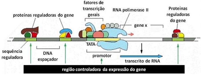 Região Controladora da Expressão do Gene