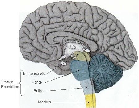 Figura Esquemática da Localização do Tronco Encefálico