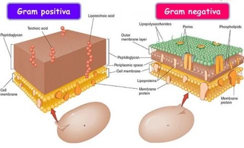 Bactérias Gram Negativas e Gram Positivas
